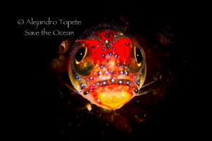 Blenny in the dark, Acapulco Mexico by Alejandro Topete