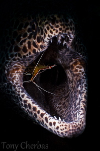 """Living on the edge"" Morey Eel with cleaner shrimp via sn... by Tony Cherbas"