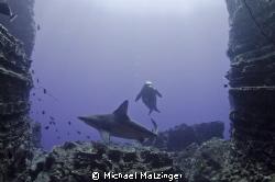 Hawaiian Monk seal and Sandbar Shark swimming through a g... by Michael Matzinger