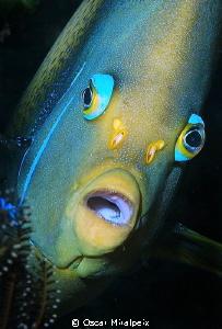 angelfish by Oscar Miralpeix
