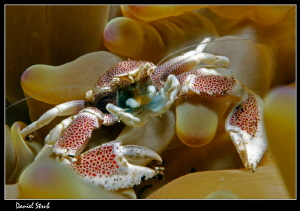 Porcelain crab :-D by Daniel Strub