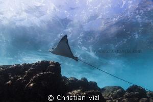 Guerrero, México. Swimming Ray under the waves at Ixtapa. by Christian Vizl
