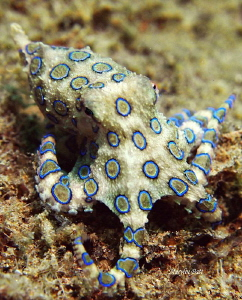 Lovely Blue ringed Octopus came out to pose in the daylight. by Marylin Batt