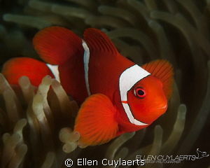 Finally I found a clownfish! by Ellen Cuylaerts