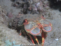 Slipper Lobster at night in Hawaii by Marc Wiseman