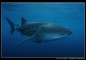Whale Shark in the Blue.... by Michel Lonfat