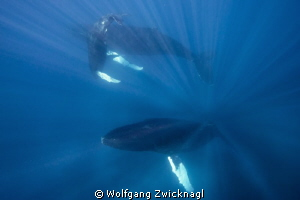 Humpbackwhale family dancing in the sunlight... by Wolfgang Zwicknagl