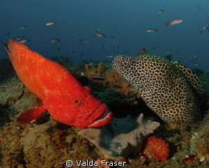 Tomato cod in the queue at a cleaning station. by Valda Fraser