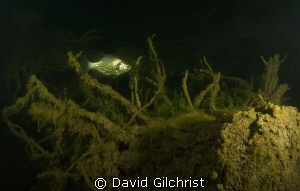 Crappie with tree stump, in local quarry by David Gilchrist