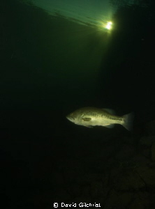 Lone Bass, in local quarry. by David Gilchrist