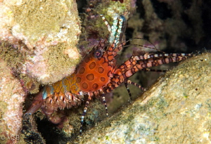 A Saron shrimp which doesn't hide itself during daytime i... by Mehmet Salih Bilal