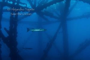 Barracuda in Plataforma Tiburon, Isla lobos Mexico by Alejandro Topete