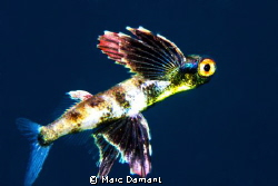 This 3 cm baby flying fish was caught just away from a sm... by Marc Damant