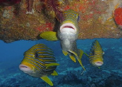 Sweetlips under the wing of a sunken airplane by Andre Philip
