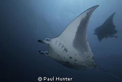 Diving with Mantas by Paul Hunter