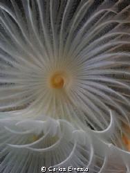 bispira volutacornis detail by Carlos Ernesto