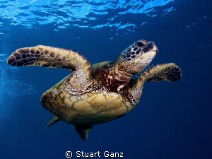 Honu in the blue by Stuart Ganz