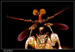 Mantis shrimp :-D by Daniel Strub