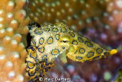 One of the worlds most deadly marine animals but singular... by Marc Damant