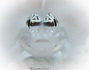 Bridled Goby by Leena Roy