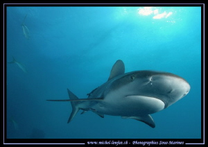 Reef Shark... by Michel Lonfat