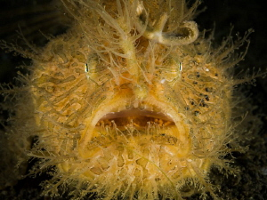 Hairy frogfish portrait (Antennarius striatus) by Alex Varani