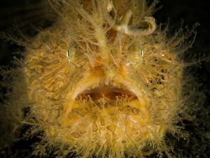 Hairy frogfish portrait (Antennarius striatus) by Alex Varani