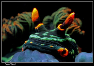 Nembrotha Kubaryana :-D - neon nudi by Daniel Strub