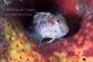 Blenny in sponge, Isla Lobos Mexico by Alejandro Topete