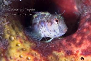 Blenny in sponge, Isla Lobos Mexico by Alejandro Topete