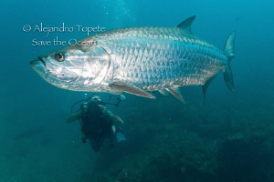 Tarpon and Photographer, Xcalac Mexico by Alejandro Topete