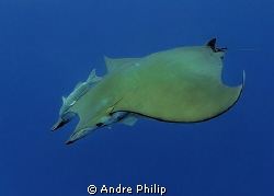 Mobula ray @ azores by Andre Philip