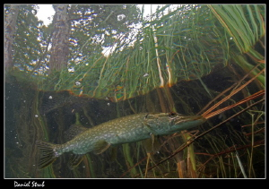 Pike in the reeds in a small pond close to home :-) by Daniel Strub