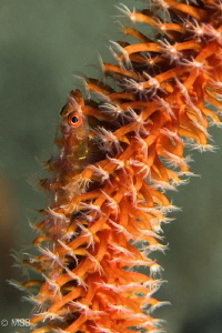 Goby on a wire coral. by Mehmet Salih Bilal