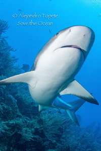 Reef Shark, Gardens of the Queen Cuba by Alejandro Topete