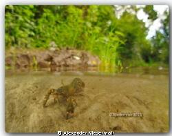 Crayfish in the River Traun by Alexander Niedermair