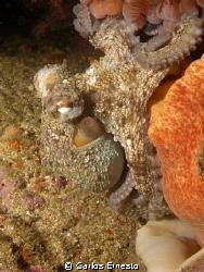 Small octopus. by Carlos Ernesto