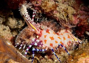 A Saron shrimp in Ambon. by Mehmet Salih Bilal