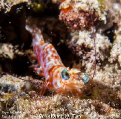 A shrimp with a big look alike smile! by Kelvin H.y. Tan