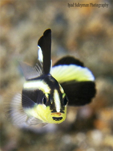 Silver sweetlips juvenile. This fish was less than 1 inc... by Iyad Suleyman