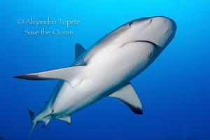 Diagonal Shark, Gardens of the Queen Cuba by Alejandro Topete