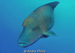 Adult Napoleon Wrasse @ Brother Islands by Andre Philip