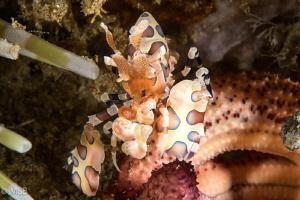 A Harlequin shrimp prefers other than blue color starfish! by Mehmet Salih Bilal