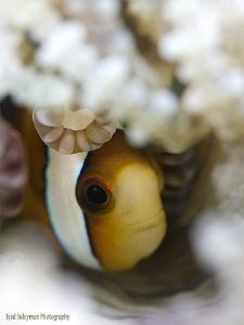 Fashionosta! Anemone fish in bonnet... by Iyad Suleyman