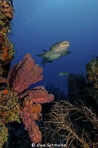Reef moods - This Image of a nurseshark I've taken in ca... by Uwe Schmolke