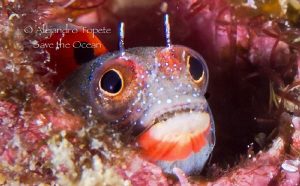 Blenny with Fear, Acapulco Mexico by Alejandro Topete