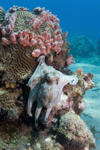 Octopus in the Reef, Veracruz  Mexico by Alejandro Topete
