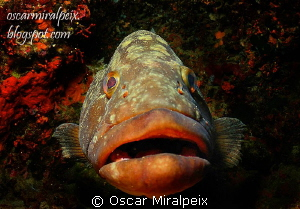 grouper by Oscar Miralpeix