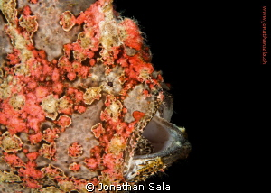 very beatiful Giant frogfish, night Dive by Jonathan Sala