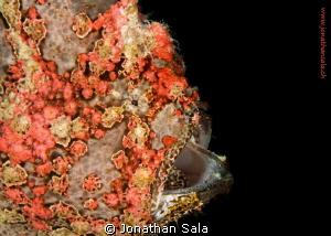very beatiful Giant frogfish, night Dive by Jonathan Sala